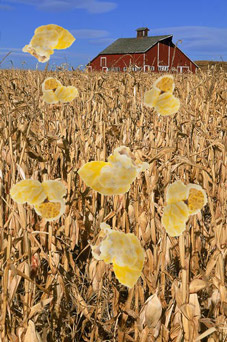 Oklahoma Earthquake: Millions of Kernels Still Trapped under Downed Cornstalks!