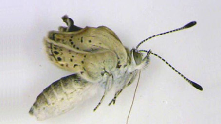 Fukushima's Mutant Butterflies, are they a precursor to Mothra?