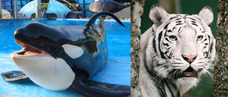 Dicord's Way Off Track Betting Pits Sea World's Killer Whale Against the Tiger that Ate Roy