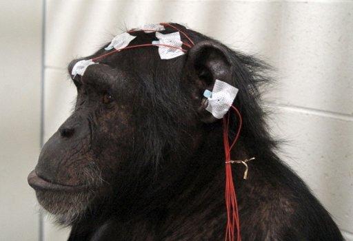 lab-chimp